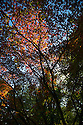 24/09/14 <br /> <br /> Stunning autumn colours begin to show on maple trees at Birmingham Botanic Gardens.<br /> <br /> All Rights Reserved: F Stop Press Ltd. +44(0)1335 300098   www.fstoppress.com.