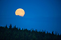 Full moon rising above spruce tree forest, northern Yukon, Canada