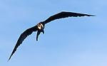 Frigatebirds nest on Manuk Island in the Banda Achipelago and are commonly seen swirling over the Banda Neira harbor.