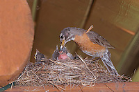 American Robin, Turdus migratorius, female removing fecal sac from young on nest at Log Cabin, Glacier National Park, Montana, USA, July 2007