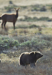 This grizzly bear sow is on the hunt for newly born elk calves in Yellowstone National Park.  An elk cow looks on with some concern. June 4, 2011. Photo by Gus Curtis.