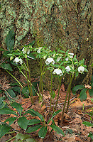 Sicilean Hellebore and Douglas Fir