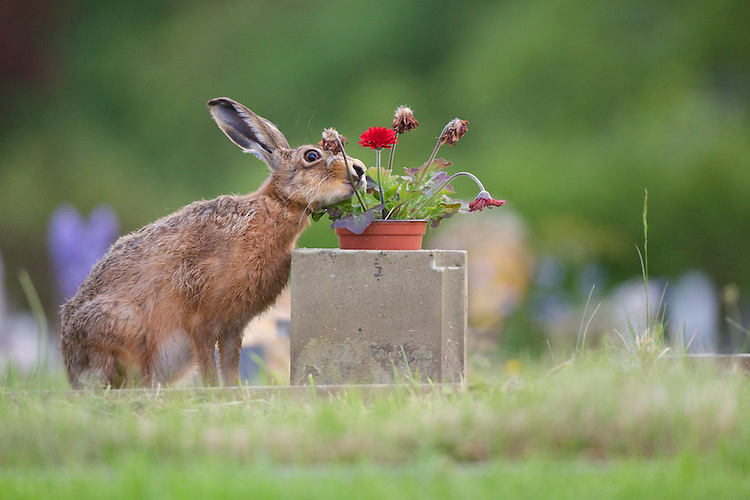 A Brown hare (Lepus europaeus) eating a flower from a grave in a cemetery.  England.