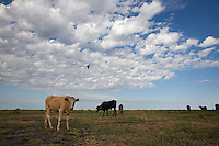 Cattle at Lake Xau