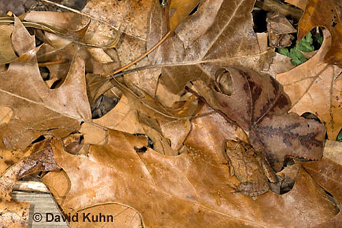 0302-0930  Camouflaged Spring Peeper Frog on Leaf Litter, Pseudacris crucifer (formerly: Hyla crucifer)  © David Kuhn/Dwight Kuhn Photography