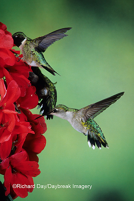 01162-05609 Ruby-throated Hummingbird (Archilochus colubris) male & female on Impatiens (New Guinea Hybrid) Shelby Co.  IL