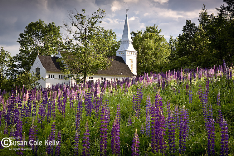 A fields of Lupines adorns a country church in Sugar Hill, NH, USA
