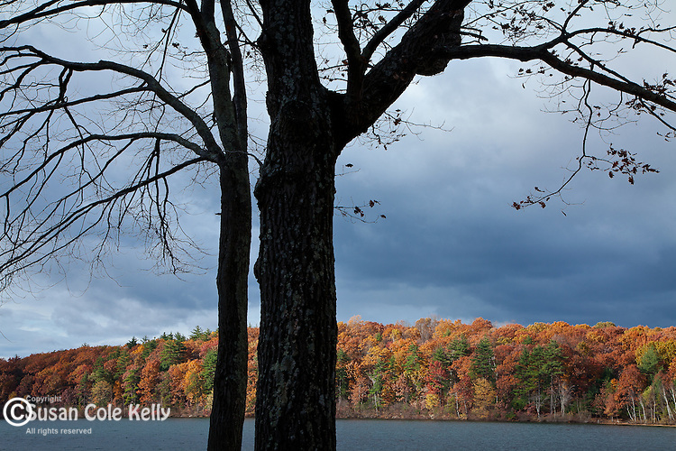 Fall colors the oak forest at Walden Pond in Concord, MA, USA