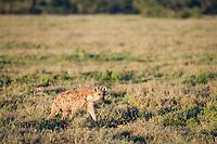Spotted Hyena, Crocuta crocuta, Serengeti National Park, East Africa