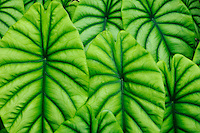 Turtle shell (Alocasia cuprea)<br />