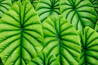 Turtle shell (Alocasia cuprea)<br /> Hawaii Tropical Botanical Garden, Onomea<br /> Hamakua Coast, South Hilo<br /> Island of Hawaii, Hawaii