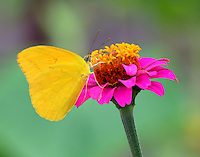 Male large orange sulphur