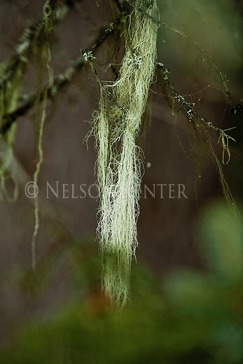 Moss hanging from a fir tree in a Montana forest