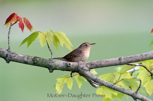 Wren, Troglodytes aedon, on maple branch sprouting new leaves for spring