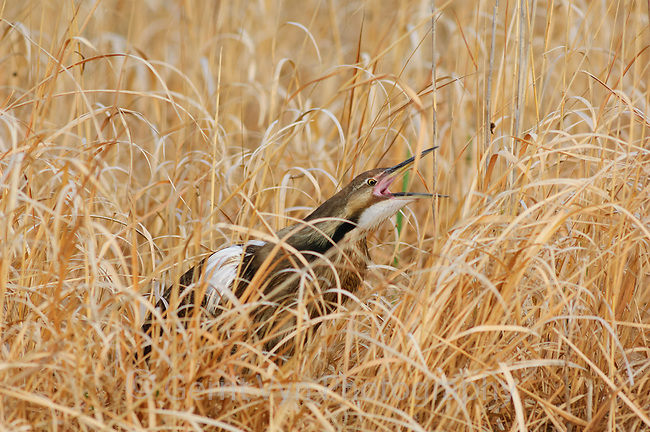 Adult male American Bittern (Botaurus lentiginosus) giving pump-er-lunk vocalization in spring. This vocalization is accomplished through inflation of the esophagus, during which the bird contorts itself violently. The call is repeated 1 to 10 times in succession and serves in territorial  advertisement and mate attraction. Montezuma NWR, New York. May.
