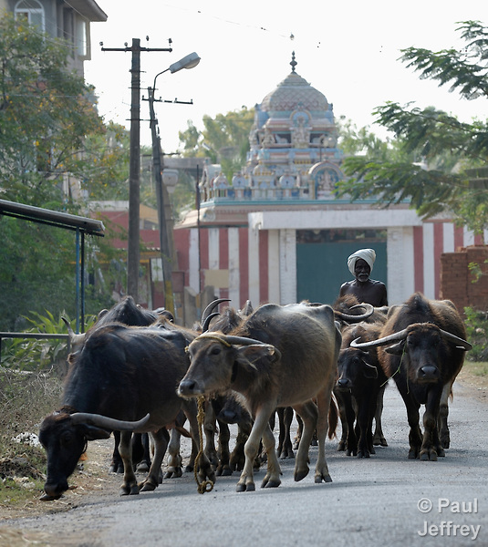 A man herds water buffalo along a street in Irula, a village in the state of Tamil Nadu in southern India..