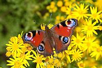 Tagpfauenauge, Blütenbesuch auf Jakobs-Greiskraut, Nektarsuche, saugt Nektar mit langem Saugrüssel, Tag-Pfauenauge, Aglais io, Inachis io, Nymphalis io, peacock moth, peacock