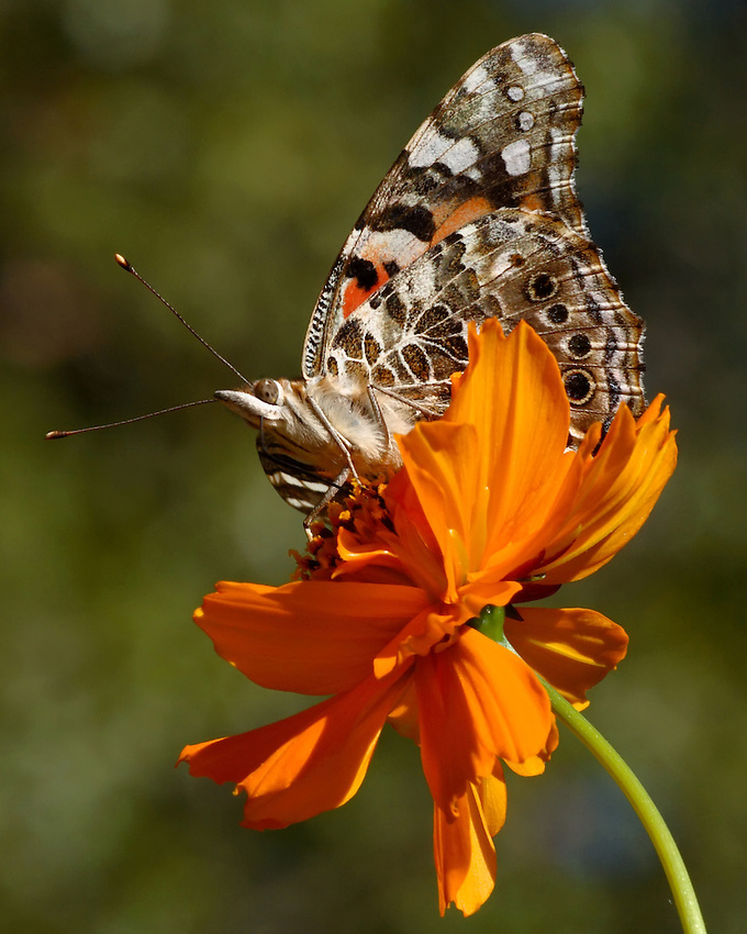 Painted Lady on cosmos flower.