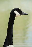 Canadian Goose head and long neck closeup for cutout silhouette, Branta canadensis