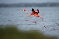 American Flamingo (Phoenicopterus ruber) landing. Rio Lagartos Biosphere Reserve, Mexico. July.