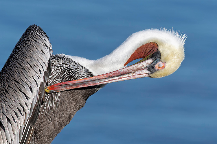 Brown Pelican - Pelicanus occidentalis - Pacific race