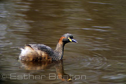 Australasian Grebe, on dam leftover from goldmining in woodlands, Honeyeater Picnic area, Chiltern-Mt Pilot National Park, VIC