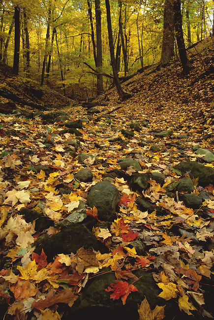 Fall colored leaves fill a dry stream bed in Matthiessen State Park in LaSalle County, Illinois