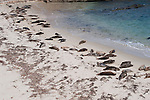 Harbor seals rest on the beach in La Jolla, California.