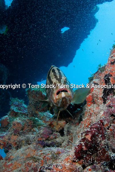 Nassau Grouper, Epinephelus striatus, Molasses Reef, Key Largo, Florida