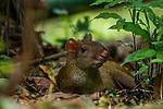 Central American Agouti (Dasyprocta punctata), Metropolitan Natural Park, Panama City, Panama
