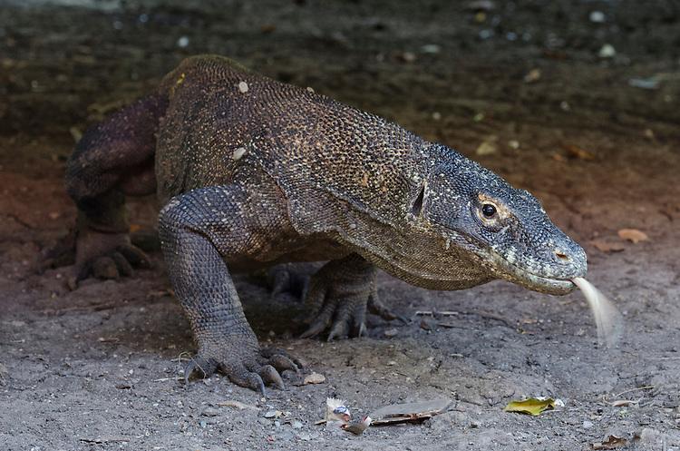Komodo Dragon, Varanus komodoensis, head on view, Komodo National Park