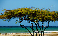 A divi-divi tree (Caesalpinia coriaria) frames a catamaran sailing boat off the shores of Aruba. Aruba remains a popular tourist destination, with international planes and cruise ships arriving daily. Aruba, part of the Lesser Antilles, is famous for its white sand beaches, blue/green waters and mild climate.