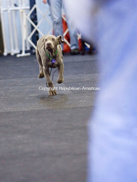 OXFORD, CT - 25 JANUARY 2009 -012509JT11-<br /> Willie, a 10-week-old Weimaraner, runs to his owner John Kuzmech of Naugatuck as he's called during their first puppy kindergarten class at the Obedience Dog Training Club of Waterbury, Inc. in Oxford on Sunday, Jan. 25. <br /> Josalee Thrift / Republican-American