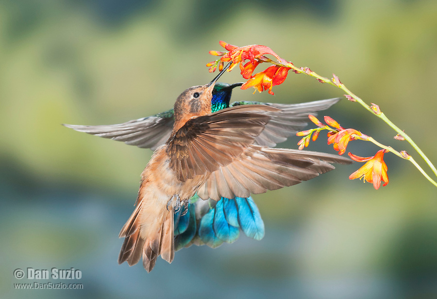 Sparkling violet-ear, Colibri coruscans, and shining sunbeam, Aglaeactis cupripennis, compete for a flower at San Jorge Eco-Lodge, Quito, Ecuador