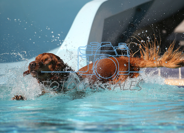 Keno plays at the 10th annual Pooch Plunge at the Carson City Aquatics Center, in Carson City, Nev., on Saturday, Sept. 22, 2018. The event is a fundraiser for the Carson Animal Services Initiative which supports Nevada Humane Society services in Carson City.<br /> Photo by Cathleen Allison/Nevada Momentum