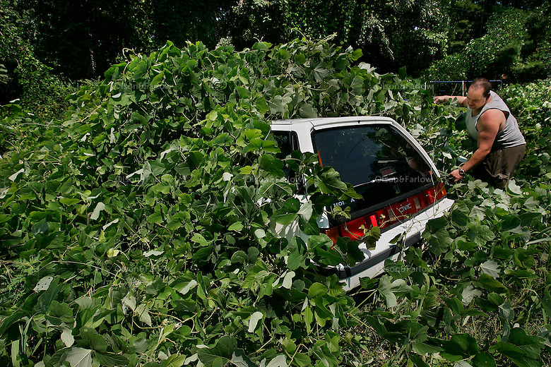 "Jason Millsaps rips into a shroud of kudzu covering a car in his Georgia yard. Kudzu is a tenacious growing 60 feet annually. It infests 7 million acres throughout the southeastern United States.<br /> <br /> Kudzu (Pueraria montana), a native of Japan, China, Taiwan, Korea, Vietnam, Thailand, Philippines and Pacific islands--was introduced into the United States from Japan in 1876 at the Philadelphia Centennial Exposition. It was promoted as an ornamental and for animal feed and first planted in Florida in the 1920s. From 1935 to the mid-1950s, farmers in the South were encouraged to plant kudzu to reduce soil erosion, and the Civilian Conservation Corps planted it widely for many years. <br /> <br /> Kudzu forms a dense thicket of little use to wildlife and crowds out other plants, disrupting the ecosystem. Its tuberous root habit makes eradication of this <br /> species difficult. <br /> <br /> Kudzu nicknamed ""the vine that ate the south,"" was eventually recognized as a pest weed by the U.S. Department of Agriculture and, in 1953, was removed from its list of permissible cover plants."