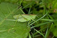 Zwitscherschrecke, Zwitscher-Heupferd, Weibchen mit Legebohrer, Zwitscherheupferd, Zwitscher-Schrecke, Heupferd, Tettigonia cantans, twitching green bushcricket