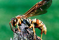PAPER WASP<br /> Polistes Annularis<br /> Uses chewed wood to build nest. Feeds on insects, grubs, spiders and overripe fruit. Female stinger venom contains a histamine which can be used repeatedly to paralyze its prey. 20,000 species worldwide.