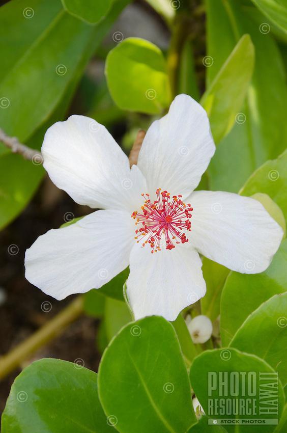 The native Hawaiian koki'o ke'o ke'o is the white hibiscus found on O'ahu and Moloka'i. It is also known as pua aloalo in Hawaiian.