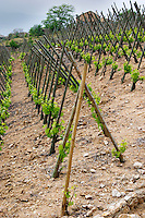 The vineyard of Pierre Gaillard in Malleval where he makes wines of the appellations Cote Rotie, Condrieu, and Saint Joseph.  On the plateau, high lying land, above the actual Rhone valley along the river. This is Syrah and here they are trained in 'taille en echalat' with supporting wooden stakes. This particular vineyard is in Saint Joseph.  Domaine Pierre Gaillard, Malleval, Ardeche, Ardeche, France, Europe