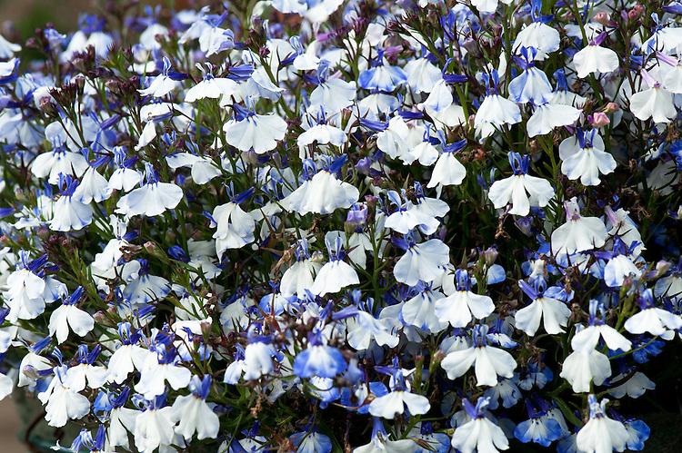 Lobelia Erinus Regatta Blue Splash Alan Buckingham