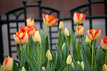 Spring tulips, Chicago, IL, USA