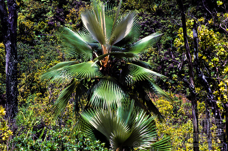An endangered loulu palm (Pritchardia viscosa), endemic to north Kauai, extremely rare, just a few individuals are found in the wild.
