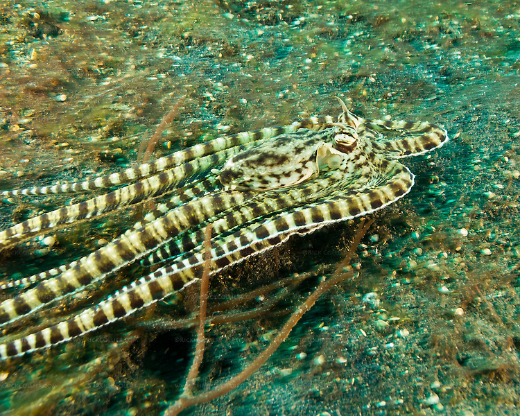 "A mimic octopus tries to get away from divers, making its best ""I am a flounder"" impression."