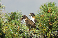 Short-tailed Hawk Nest