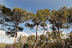 Israel, Mount Carmel. Pine trees in Ofer forest