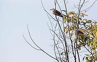 SAO PAULO, SP - 19.11.2014 - AMBIENTE | GUARAPIRANGA - Casal de Kero-Kero é visto vigiando seu ninho em área antes coberta pelas águas do Guarapiranga em Interlagos, zona sul da capital. Diversas espécies de aves e capivaras  habitam antigas margens da represa e criam seus ninhos.<br /> <br /> (Foto: Fabricio Bomjardim / Brazil Photo Press)