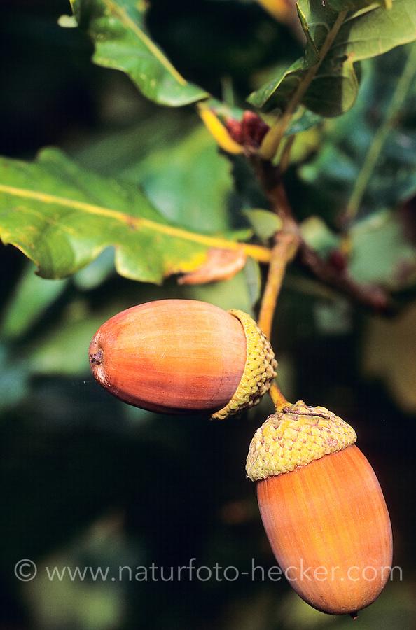 Stiel-Eiche, Stieleiche, Eiche, Eicheln, Frucht, Früchte, Quercus robur, English Oak, acorn, acorns, Chêne commun