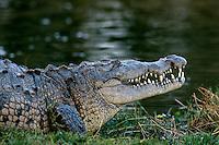 American crocodile (Crocodylus acutus), Florida.