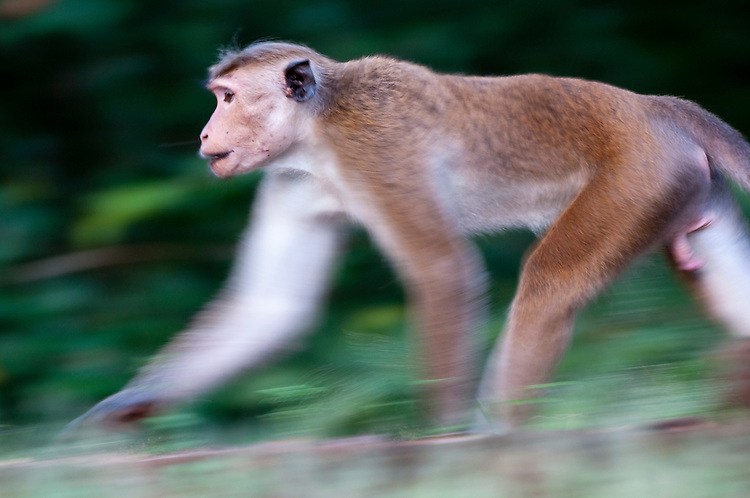 A toque Macaque runs along a 13th century wall in the archaeological reserve, Polonnaruwa, Sri Lanka. IUCN Red List Classification: Endangered